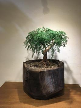 秋田杉とナンヨウスギ
