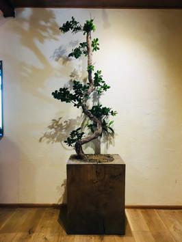 秋田杉とガジュマル