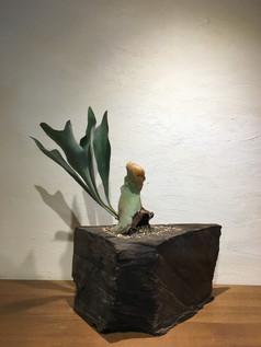 神代杉とコウモリラン