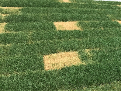 Common Lawn Disease in Spring/Summer