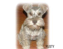 mini schnauzer breeders