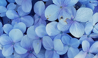 close-up-photo-of-blue-petaled-flowers-9