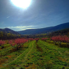 peach orchard in bloom.jpg