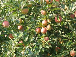 Apples in tree.jpg
