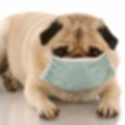 pug-rescue-of-korea-coronavirus-square.j