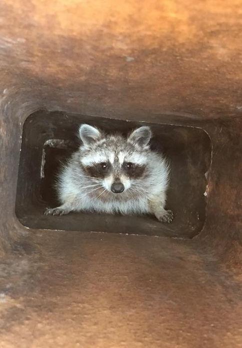 Chmney Animal Removal