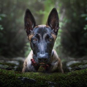 Hunter: el cachorro Belga
