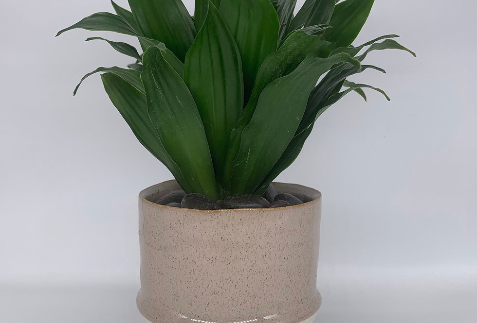 Janet Craig Dracaena in Two-Tone Pot