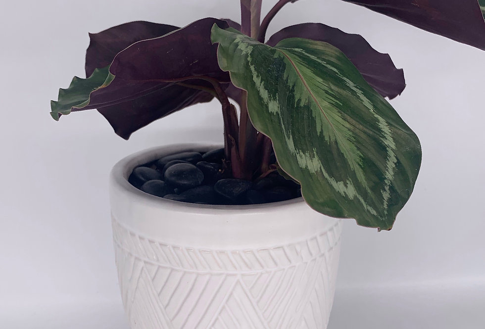 Medallion Prayer Plant in Textured White Pot