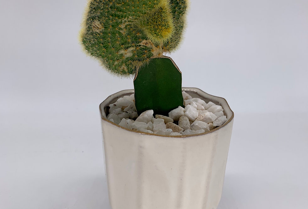 Grafted Wavy Cactus in Geometric Pot