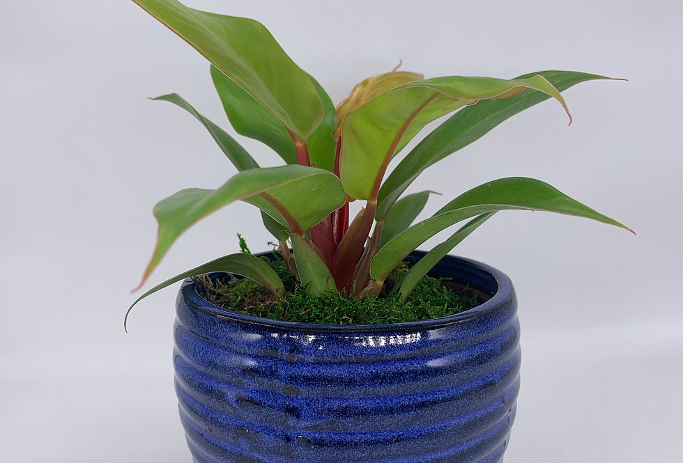 Cherry Red Philodendron in Blue Pot