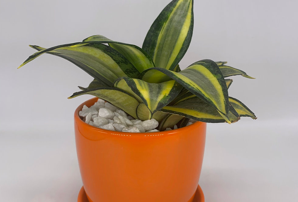 Snake Plant in Orange Pot