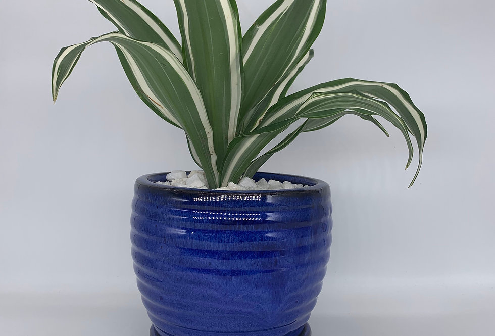 White Bird Dracaena in Blue Pot