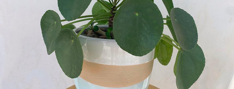 Pilea in Striped Pot