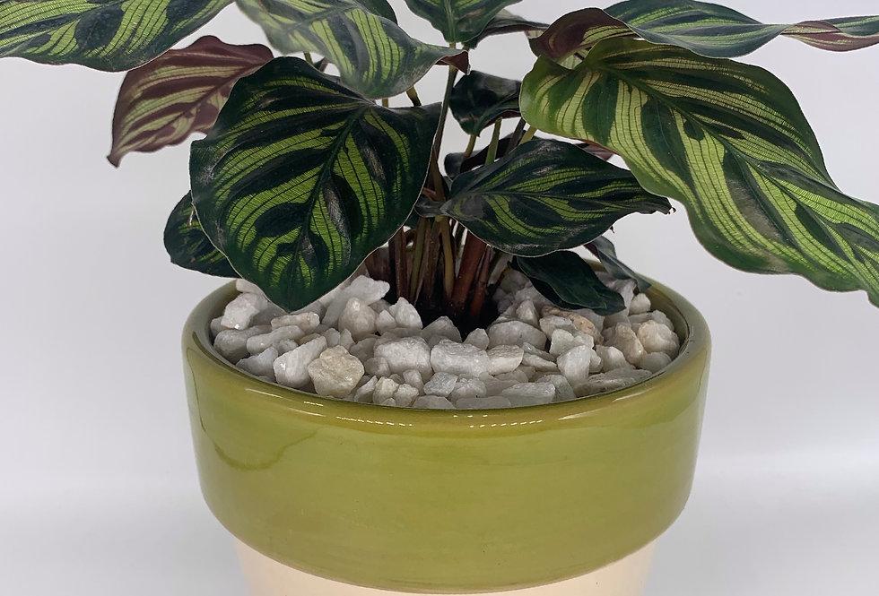 Fishbone Prayer Plant in Green-Rimmed Pot