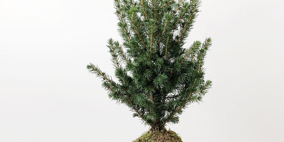Workshop kokedama kerstboom  - Leuven