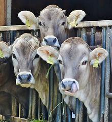 cows-dairy-cows-milk-food-162801.jpeg