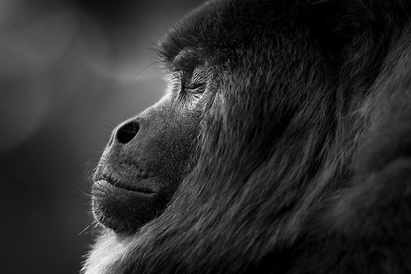 Howler Monkey, Bolivia