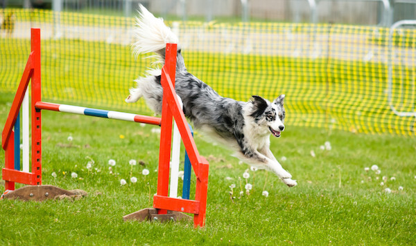 Dog Agility | Cardiff Join for 2020