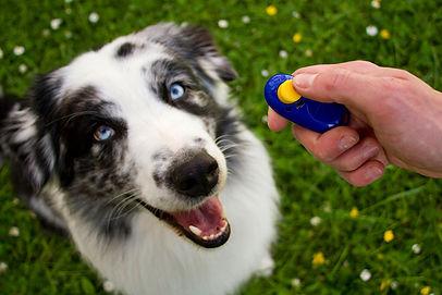 Clicker_train_young_dog_ALAMYDJ1PP3_RIGH