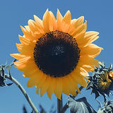 Sunflower_edited.jpg