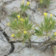Yellow pincushion plant