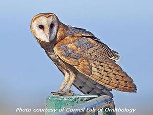 Barn-Owl2.jpg
