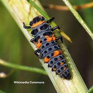 Convergent_Lady_Beetle_Larva_-_Flickr_-_treegrow.jpg