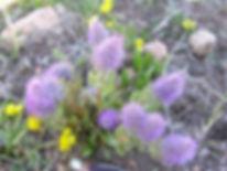 2-May, Besseya wyomingensis 1 - Copy.JPG