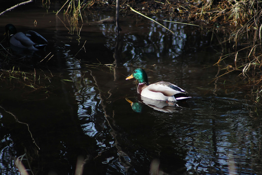 A male Mallard swimming in an urban wetland north of Seattle Washington.