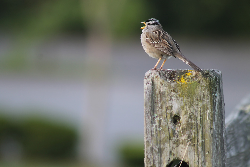 A White-crowned Sparrow sings from a fence post in Northwest Washington State.
