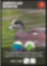 American_Widgeon_Bird_Card.png