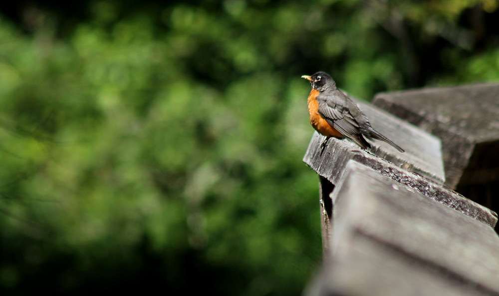 American Robin perched on a wooden walkway handrail in a wildlife refuge in northwest Washington state.