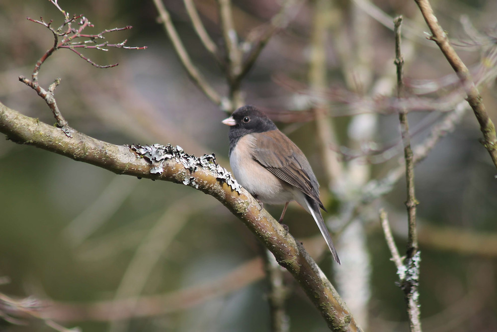 A Dark-eyed Junco sitting in a tree.