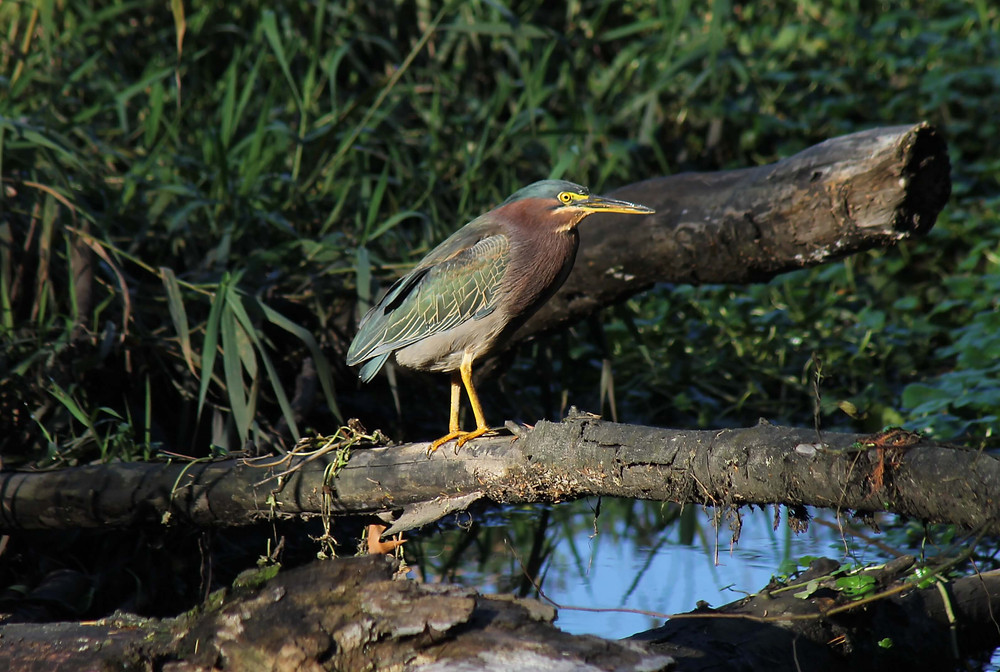 Green Heron perched on a fallen log in a suburban wetland in northwest Washington state.