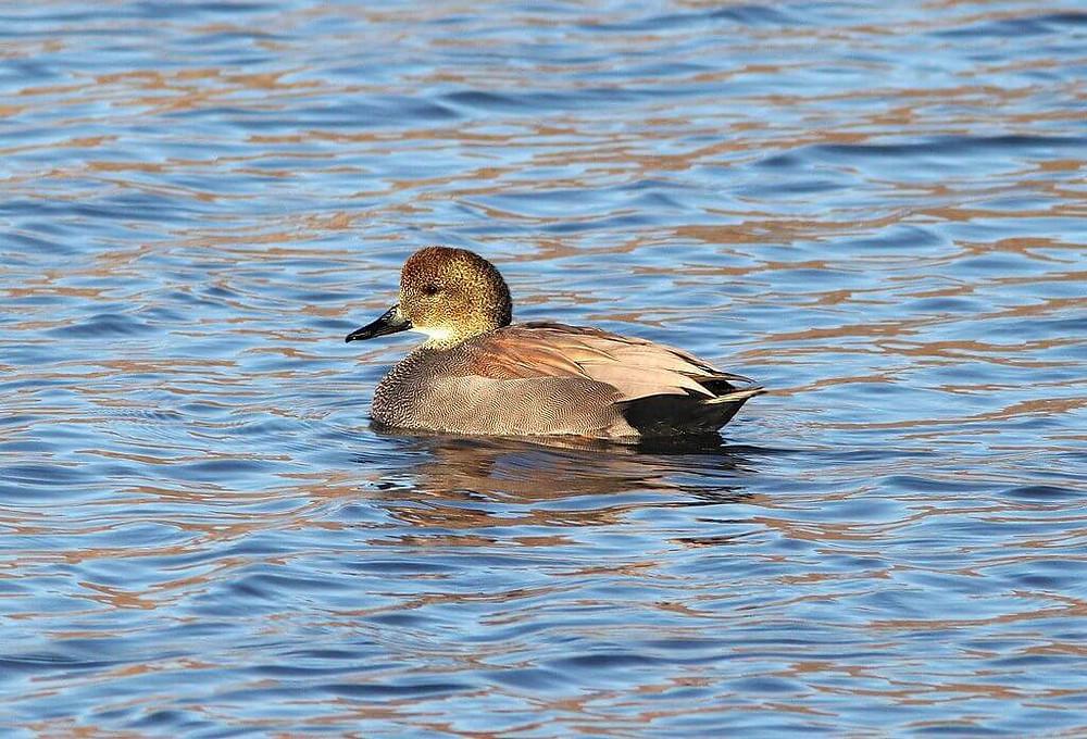 A male Gadwall duck swimming.