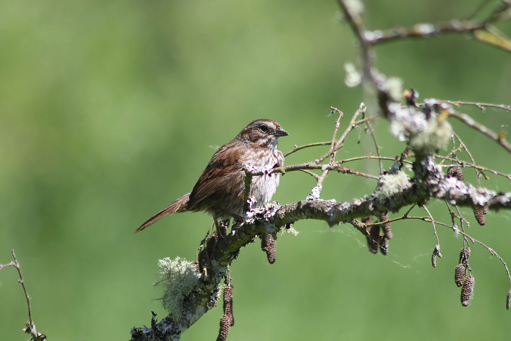 A Song Sparrow sitting in a tree north of Seattle, Washington.