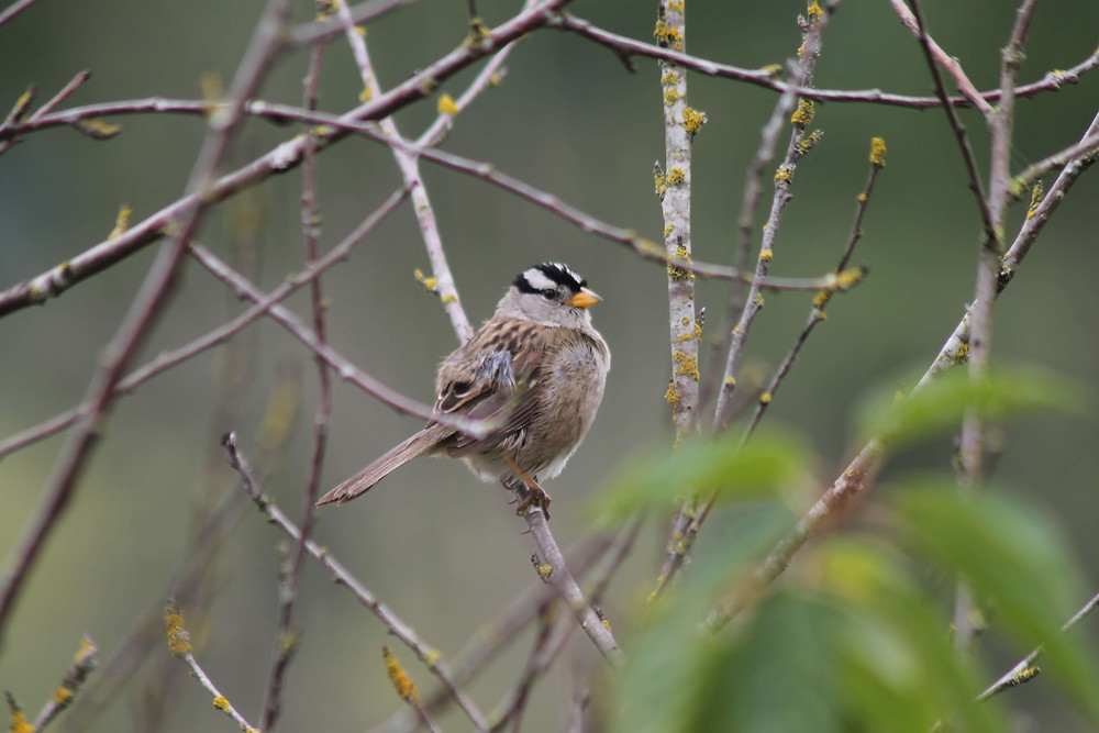 A male White-crowned Sparrow sitting in a tree north of Seattle, Washington.