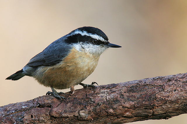 A Red-breasted Nuthatch sitting in a tree.