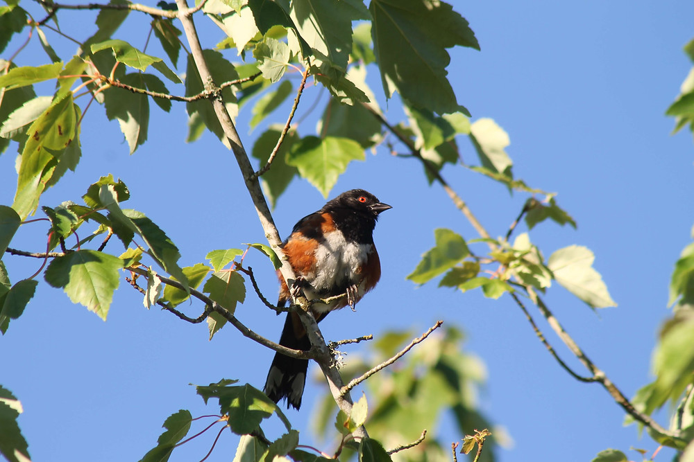 A male Spotted Towhee sitting in a tree north of Seattle, Washington.