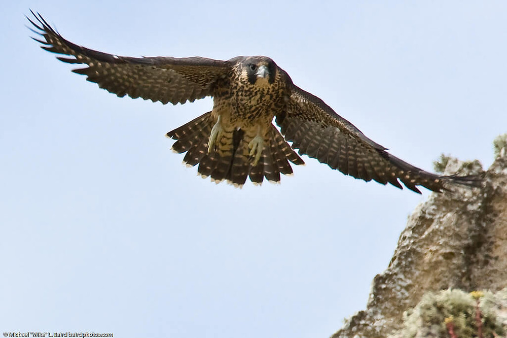 A Peregrine Falcon in flight.