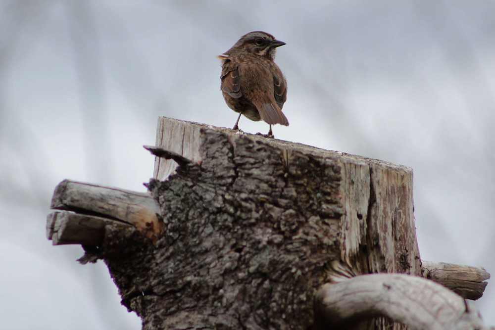 a Song Sparrow sitting on a stump north of Seattle, Washington.