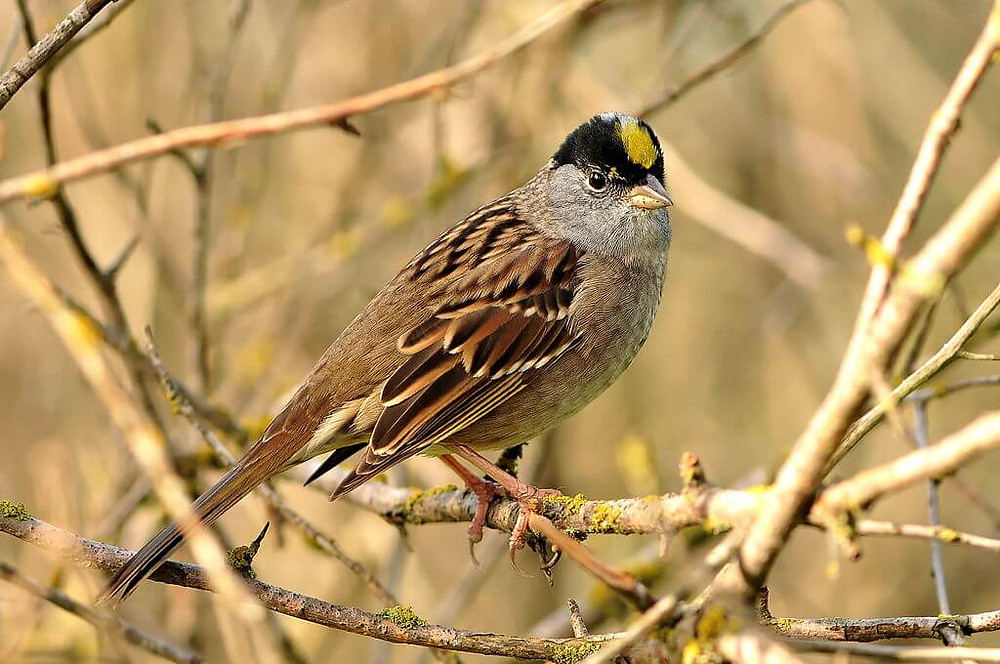 A Golden-crowned Sparrow. Photo courtesy of Brendan Lally, used under a Creative Commons license.