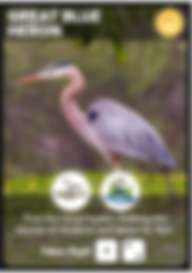 Great_Blue_Heron_Bird_Card.png