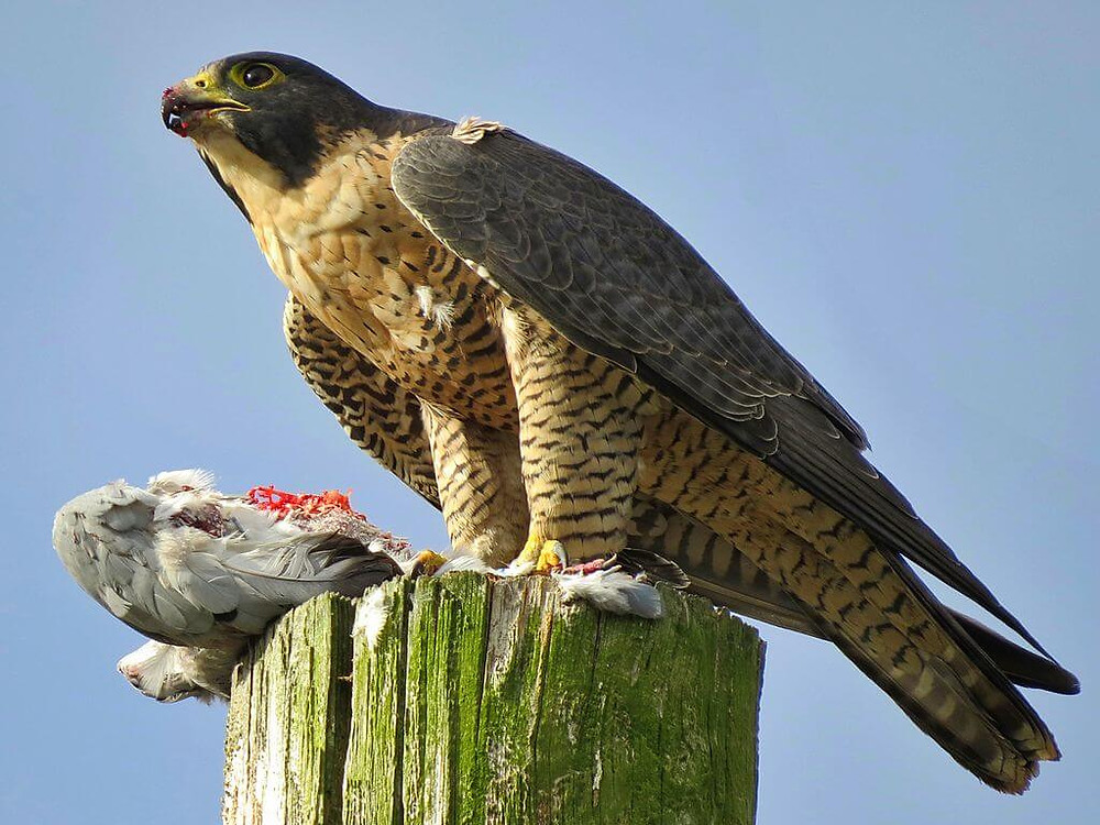 A Peregrine Falcon with a kill.