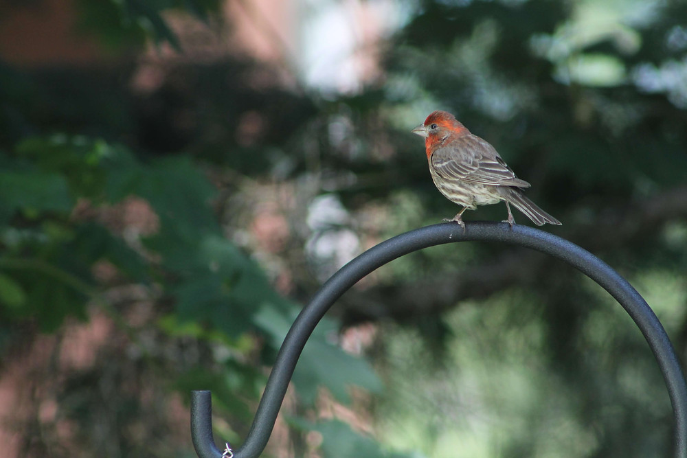 A male House Finch sitting on a bird feeder north of Seattle, Washington