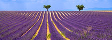 France Lavander Fields Tour