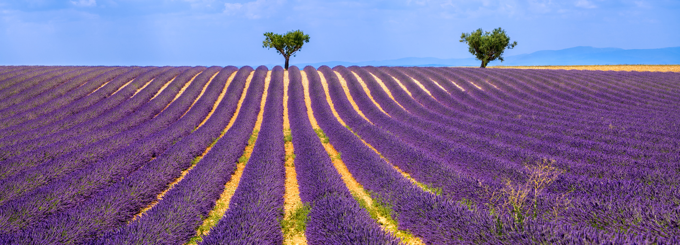Famous French Lavender Fields