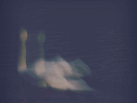 imperial+swan.jpg