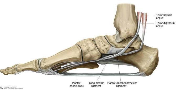 A láb hosszanti és haránt boltozatát a szalagrendszere és az izmok tartják fenn (https://www.studyblue.com/notes/note/n/ankle-and-foot-joints/deck/15412787)